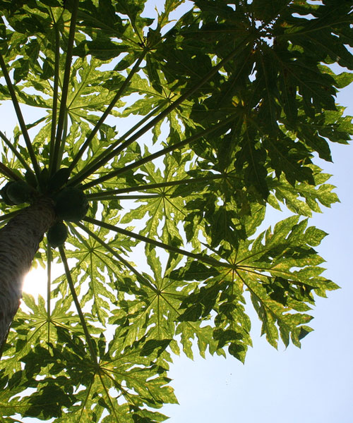 papaya looking up